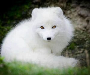 arctic, fox, and golden eyes image