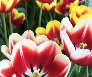 flowers, tulips, and tulipa image