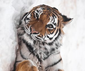 tiger, animals, and tigri image