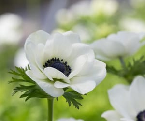 anemone, beautiful, and flower image