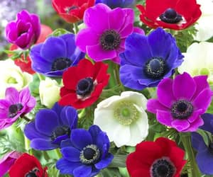 anemone, colorful, and beautiful image