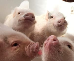 amazing, family, and pigs image