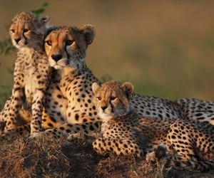 adorable, cheetah, and family image