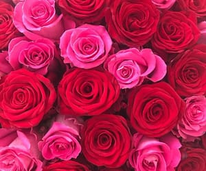 roses, beautiful, and pink image
