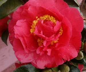 beautiful, flower, and red image