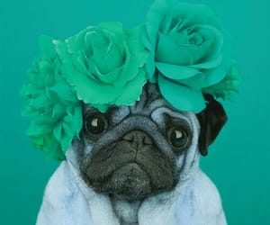 pug, roses, and dog image