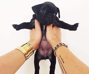 adorable, french bulldog, and gold image