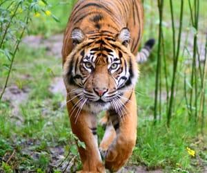 big cat, tigre, and tijger image