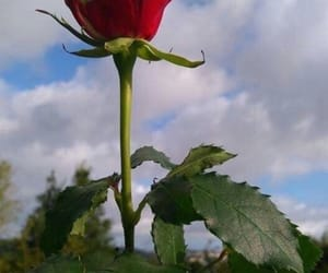 aesthetics, rose, and red image