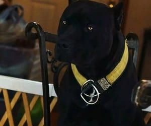 black, dog, and pitbull image