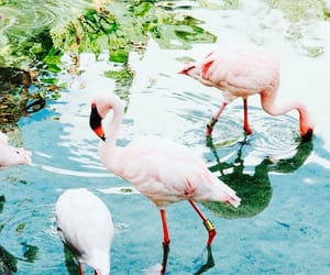 flamingo, animals, and pink image