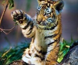 animals, baby tiger, and nature image