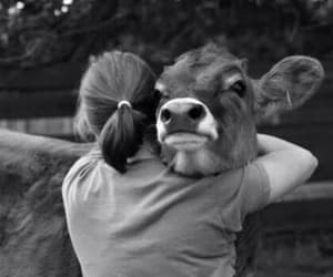 animal, cow, and hug image