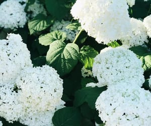 flowers, hydrangea, and white image