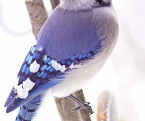 animals, blue jay, and animal image