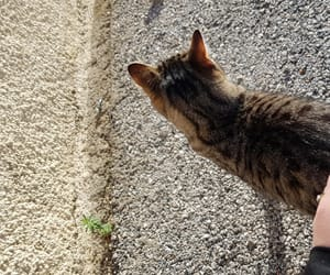 animal, bengal cat, and cat image