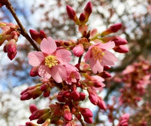cherry, cherry blossom, and flower image