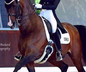 bay, dressage, and equestrian image
