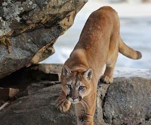 Animales, puma, and belleza image