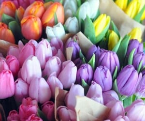 colorful, tulips, and colors image