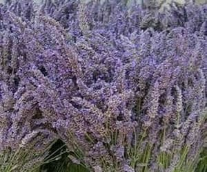 flower, lavender, and aesethic image