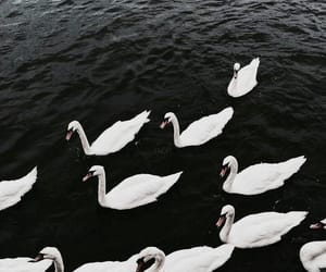 theme, Swan, and aesthetic image