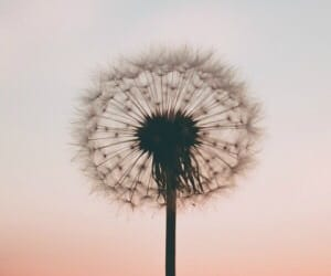 wallpaper, dandelion, and photography image