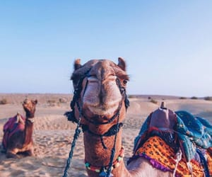 animal, camel, and travel image