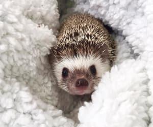 animals, aww, and hedgehog image