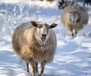 mouton and neige image