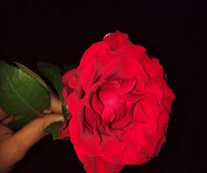 red, rose, and beautyful image