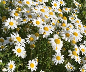 daisies, photo by me, and flowers image