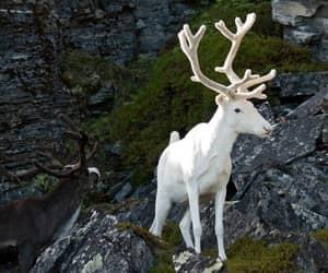albino, deer, and animal image