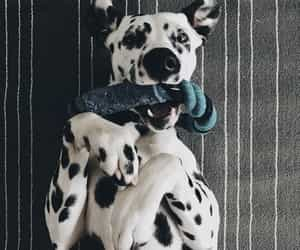 dog, puppy, and dalmation image