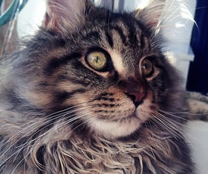 cat, eyes, and maine coon image