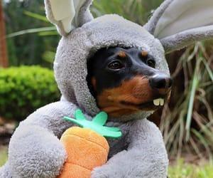 animals, dachshund, and cute image