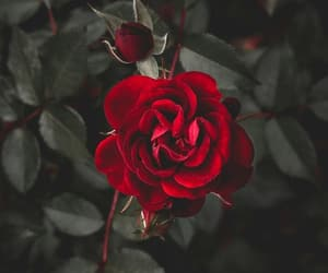 accessories, nature, and rose+roses image