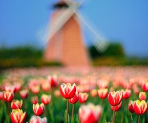 nature and tulips image