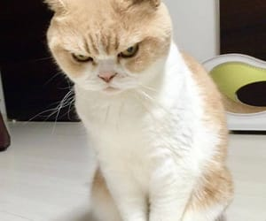 angry cat, cat, and Cat Face image