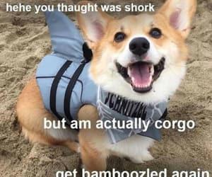 corgi, funny, and tumblr image