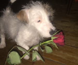 puppy, rose, and valentine image