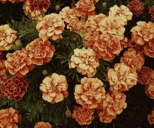 flower, flowers, and marigold image