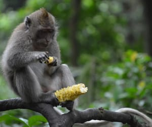 animals, bali, and monkey image