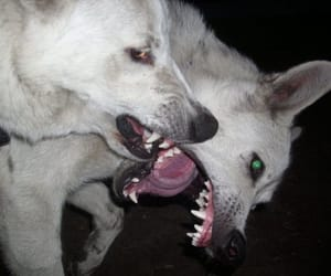 dog, white, and wolf image