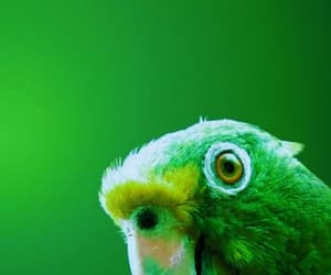 baby, parrot, and Chick image