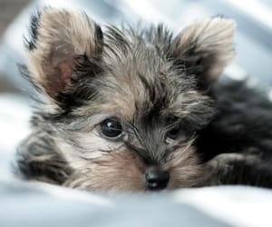 baby, yorkie, and puppy image