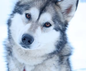 beautiful, dog, and husky image