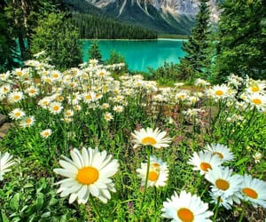 daisy, flowers, and canada image