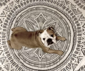 bulldog, dog, and douglas image
