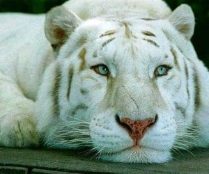 amazing, animals, and white tiger image